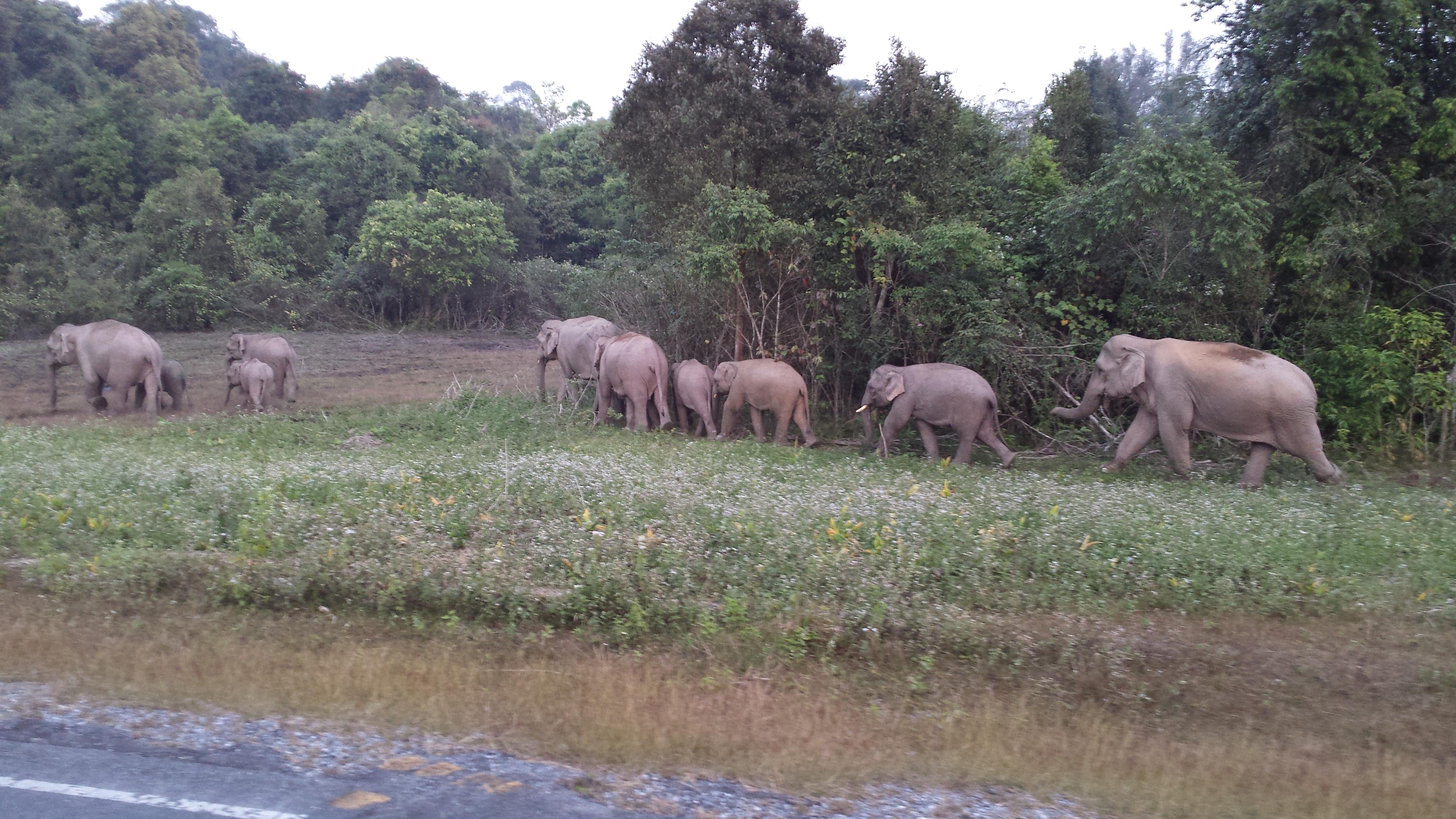Elefantenherde, Khao Yai Nationalpark, Thailand
